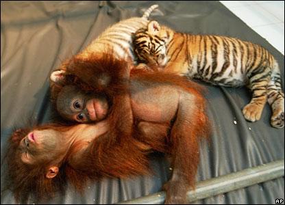 Tiger and orang-utans