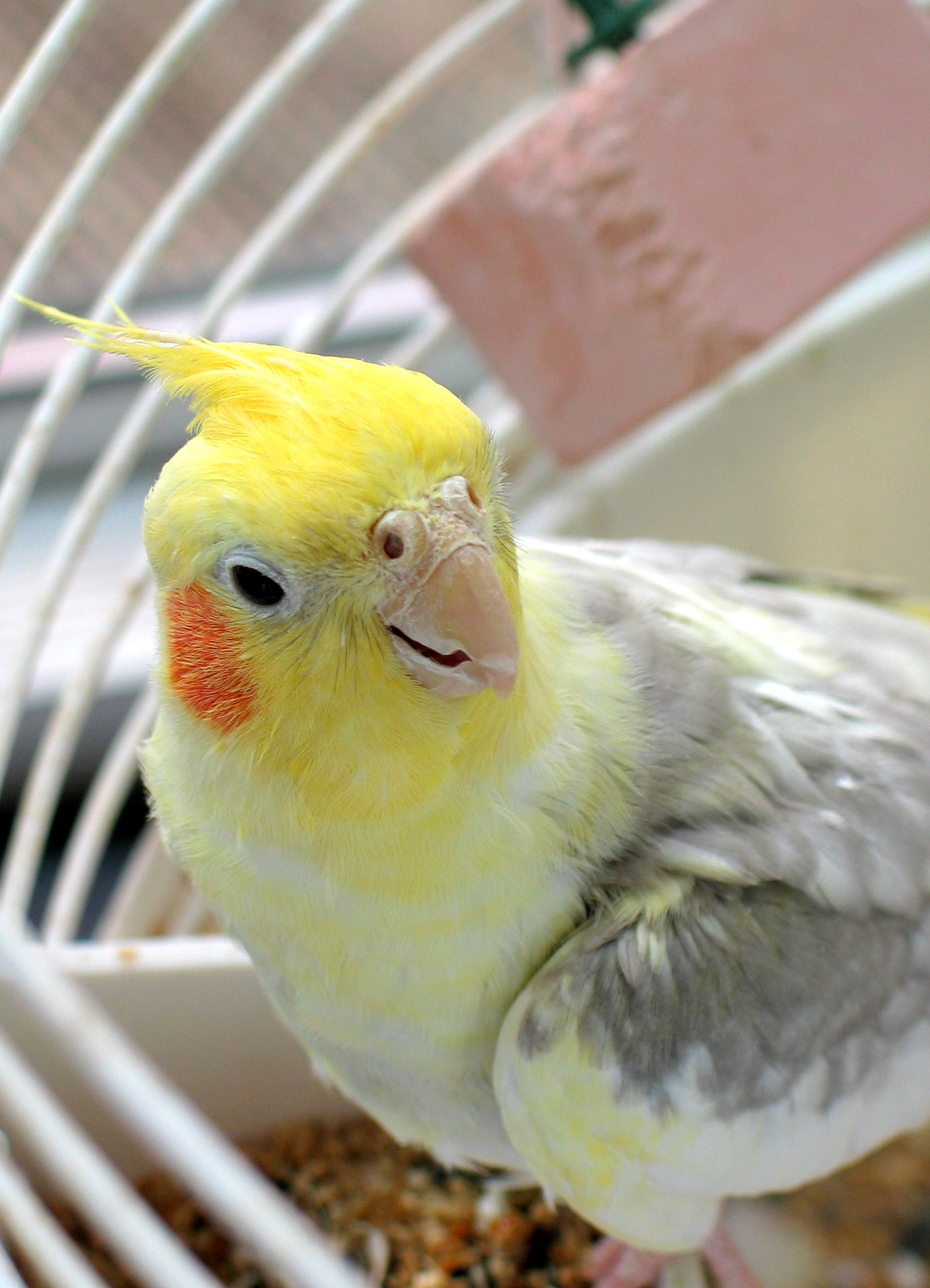Cocky the Cockatiel